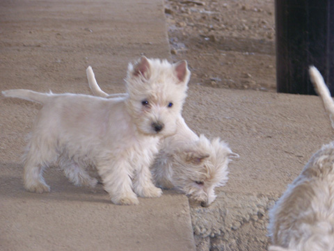 West Highland White Terrier de LaNeblina