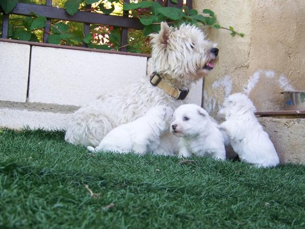 cachorros de westie