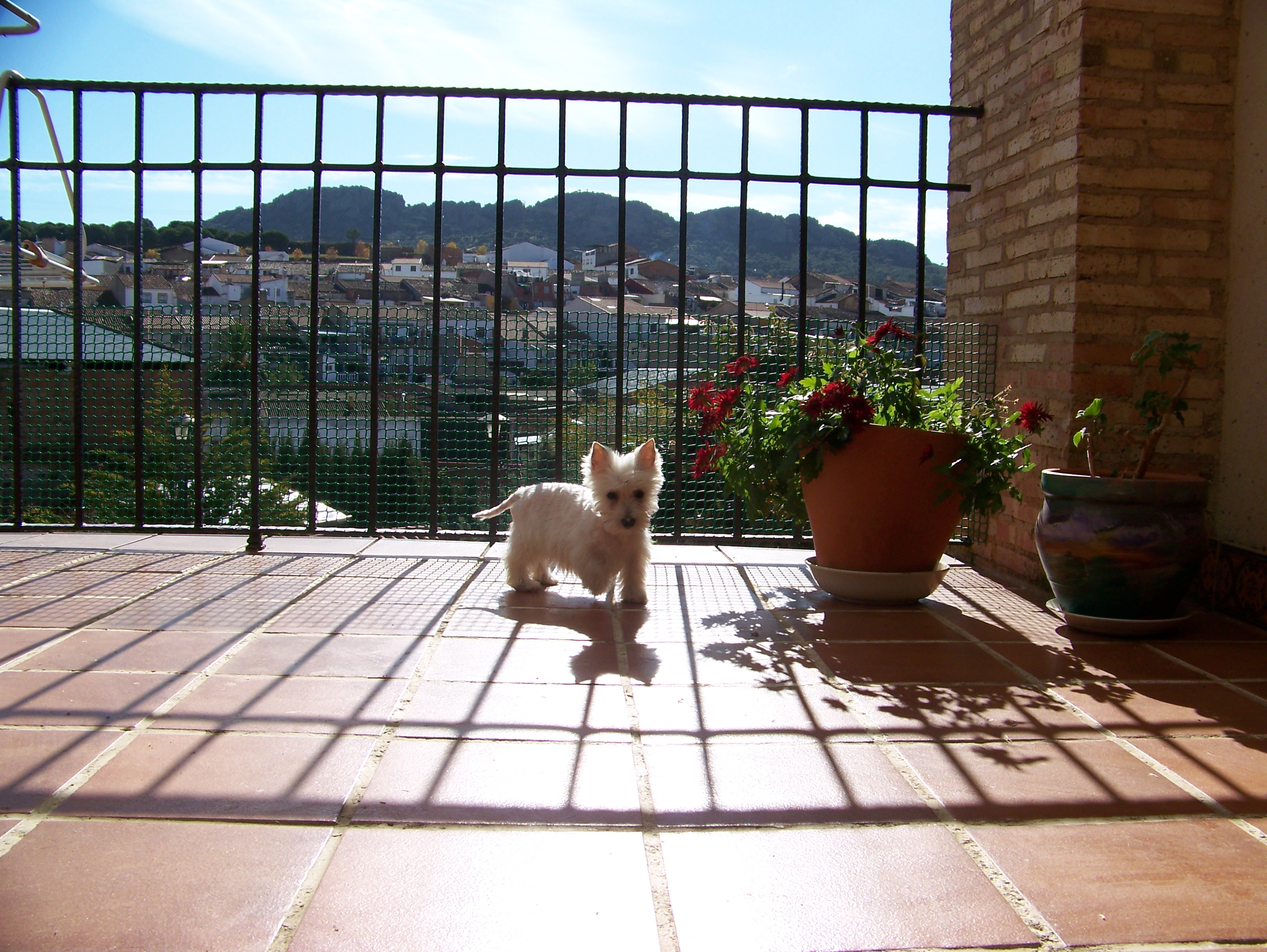 West Highland White Terrier de LaNeblina