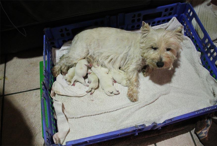 Cachorros de Westie en venta - Westies La Neblina - 620 591 410