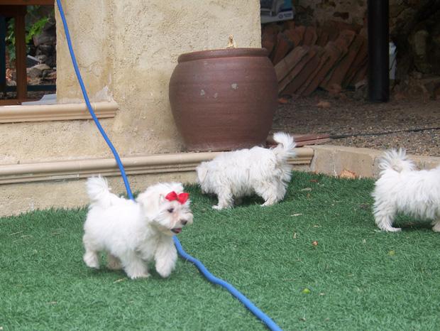 Bichón Maltés del Criadero Canino de LaNeblina