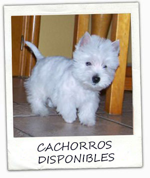 polaroid_cachorro_westies
