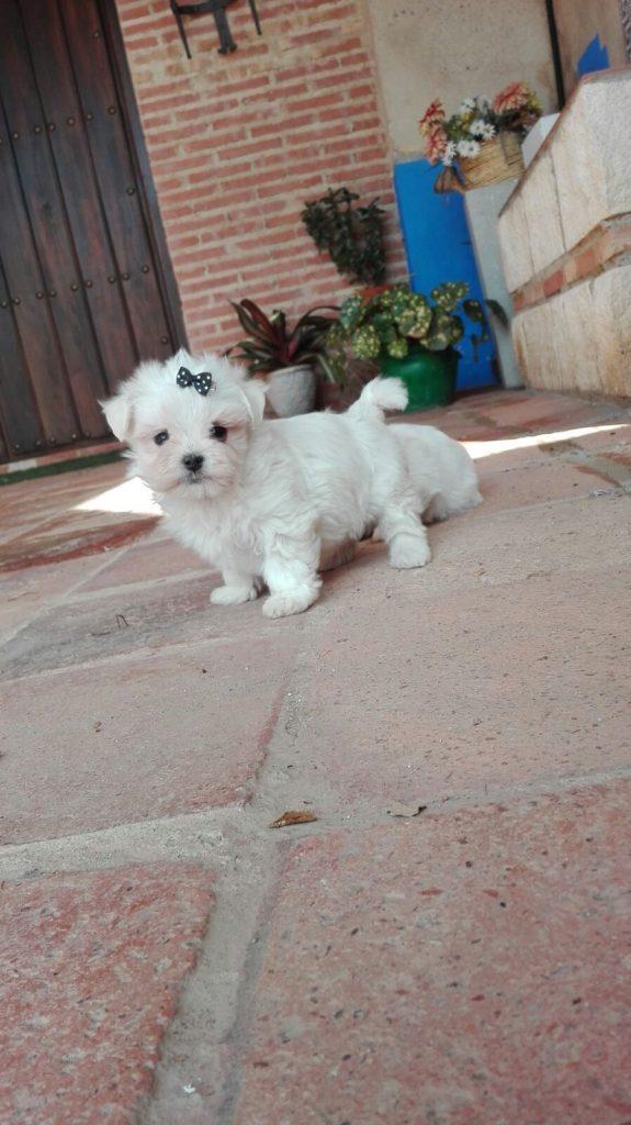Cachorrito macho de bichón maltés de Laika con dos meses